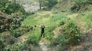 marijuana field in Bhutan