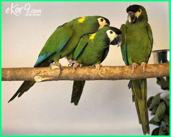 10 Jenis Burung Macaw Beserta Gambar Dan Harganya Ekor9 Com Burung Afrika Fakta Film