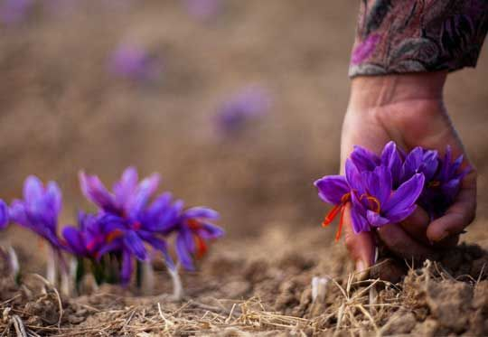 Saffron Tea - From the rolling meadows in the highlands of the Kashmir valley, grows this elusive tiny flower. Saffron.   Derived from the 3 dried stigmas of each purple saffron crocus, it takes anything from 70,000 to 250,000 flowers to make just one pound (450 grams) of pure saffron.