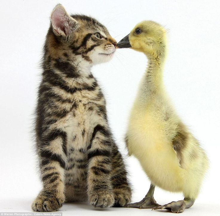 Fosset the kitten with a yellow gosling: Photographer Mark Taylor is famous around the world for his cute shots of animals in unusual poses: Cats, Animals, Cuteness, Friends, Yellow Gosling, Photographer Mark, Ducks, Kittens