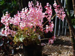 NSW Begonia Society Annual Exhibition | Events in Sydney NSW Begonia Society's 27th