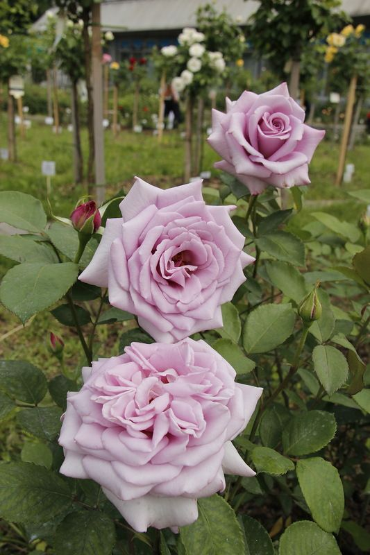 ' Twice in a Blue Moon' | Hybrid Tea Rose. Evers 2004