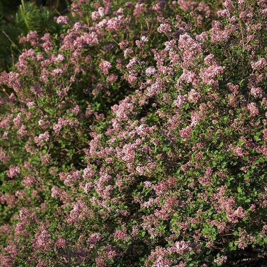 17 best ideas about tall shrubs on pinterest evergreen for Tall evergreen shrubs