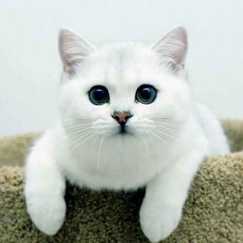 White British Shorthair Cat. - http://animalfunnymemes.com/white-british-shorthair-cat/