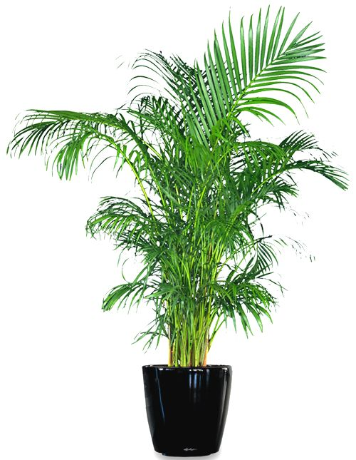 Areca Palms, not only beautiful but clean the air of harmful chemicals.  Special care