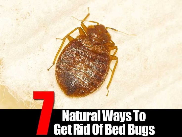54 best bed bugs images on pinterest