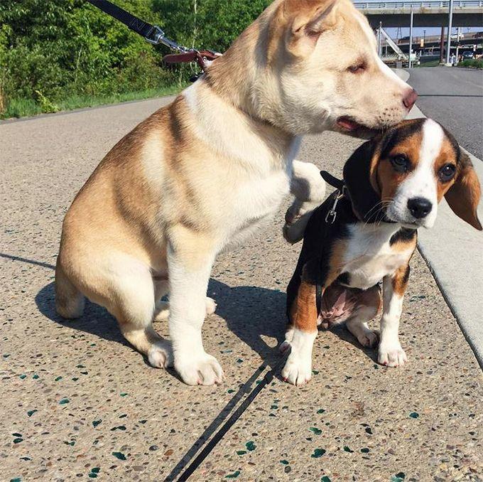 Pocket Beagle Dog Breed Picture