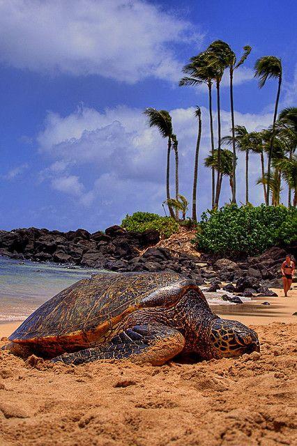 Turtles at North Shore, Oahu, Hawaii