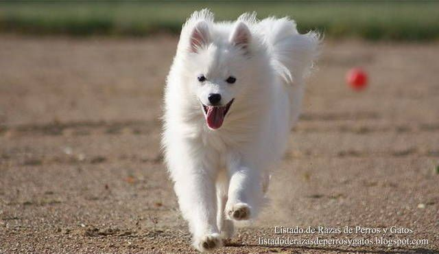 Foto de un Perro Esquimal Americano corriendo por el campo. Las características físicas del Eskimo Spitz son muy similares al Samoyedo. Razas de perros pequeños. Cachorros para apartamento. Raza de perro (Photo of an American Eskimo dog running across the field. The physical characteristics of Eskimo Spitz are very similar to the Samoyed. Small dog breeds. Breed of dog).