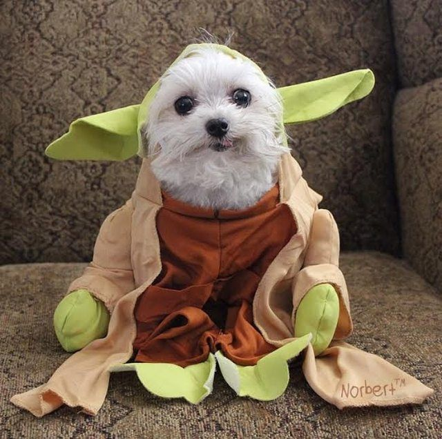 Norbert the dog in a Yoda Costume