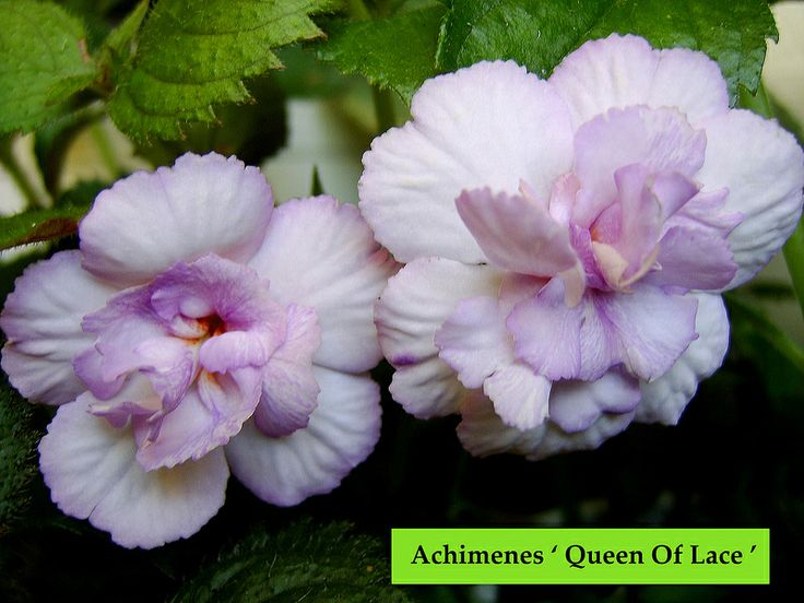 Achimenes ' Queen Of Lace'