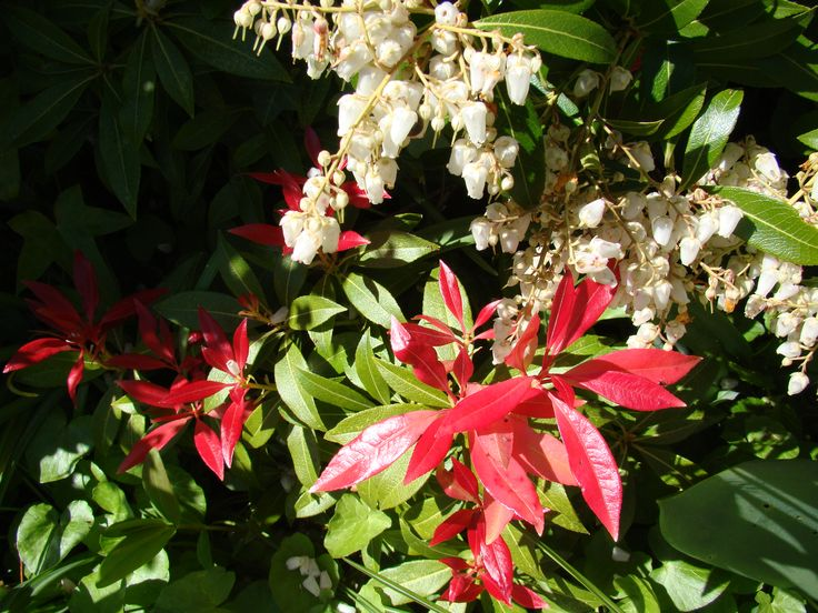 Pieris (May 2016 / Front Garden - mei 2016 / voortuin)
