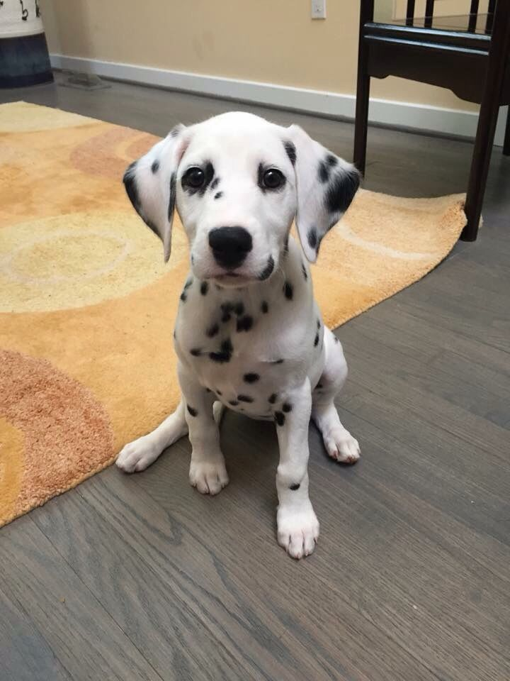 Adorable Little Dalmatian Puppy - Just Look at those Eyes!