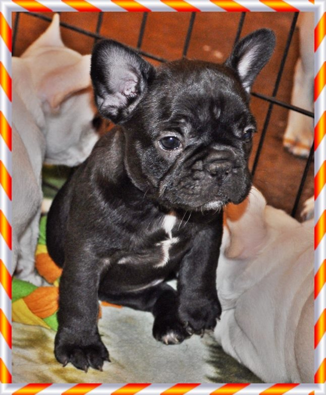 French Bulldogs for sale in Texas Cute animals, French