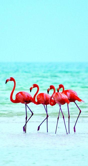 Flamingos in Isla Holbox Island, Mexico. paisagem, flamingos , natureza, azul…