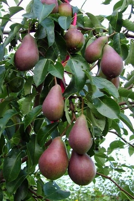 """Red pears on tree : """"There are only ten minutes in the life of a pear when it is perfect to eat."""""""