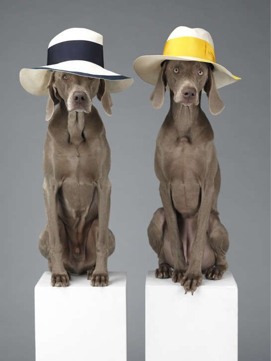 Lavish Dog Fashion Photography - William Wegman Dresses Weimaraners in Luxury Clothing (GALLERY)