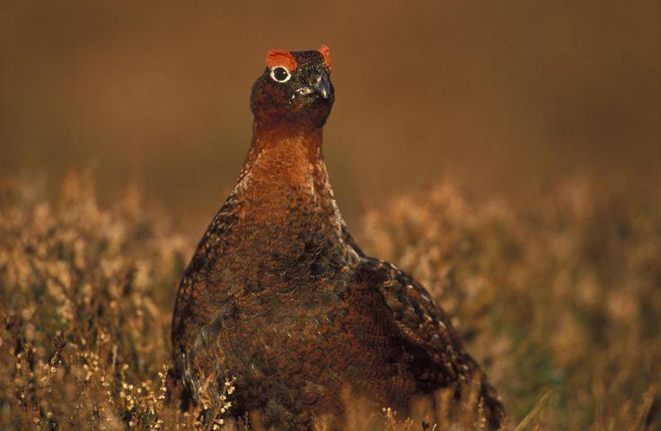 Wild Scotland | Birds | Inland Birds | Red grouse