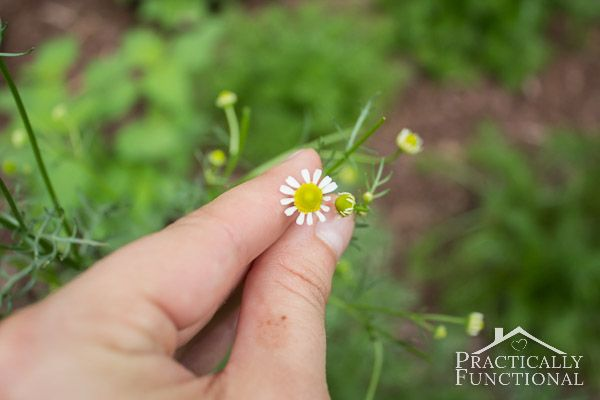 How To Harvest Chamomile & Chamomile Tea Recipe || Practically Functional