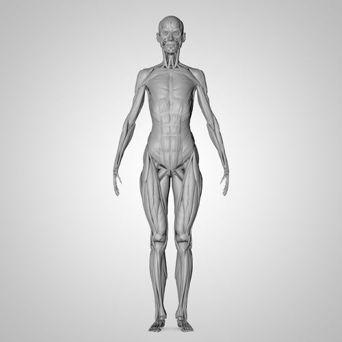 human anatomy | 3D Model