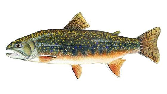 17 best images about some of my fish art on pinterest for Sierra fish in english