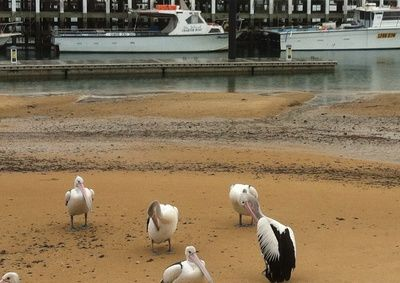 Pelican Feeding at San Remo - Melbourne