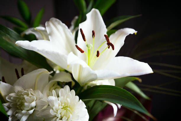 beautiful white lily flower blossom macro close up