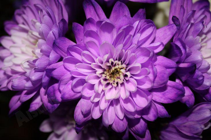 Purple Carnation - Purple Chrysanthemums