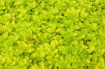 1000 Images About Garden Groundcover Walkable Plants On