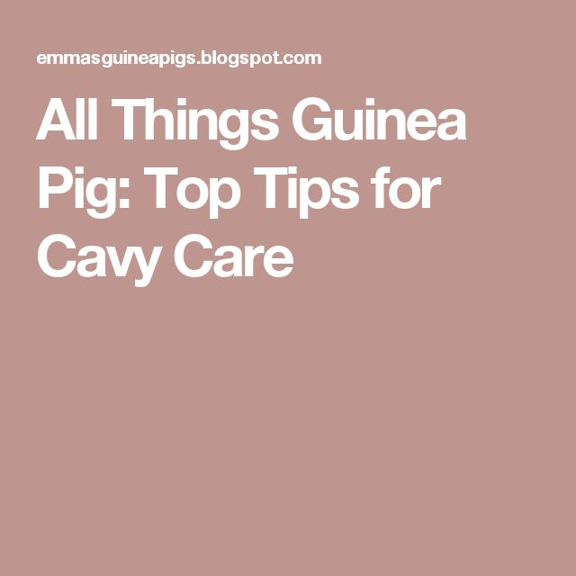 how to take care of your guinea pig