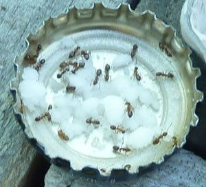 Deshacerse de las hormigas en el jardín.  Las hormigas alimentándose de azúcar en polvo mezclado con agua de bórax!  Esto funciona.  Toman el bórax de nuevo a todas las hormigas y cuando se ingieren.  Los mata .: