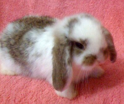 Holland lop! One of my favorite breeds.