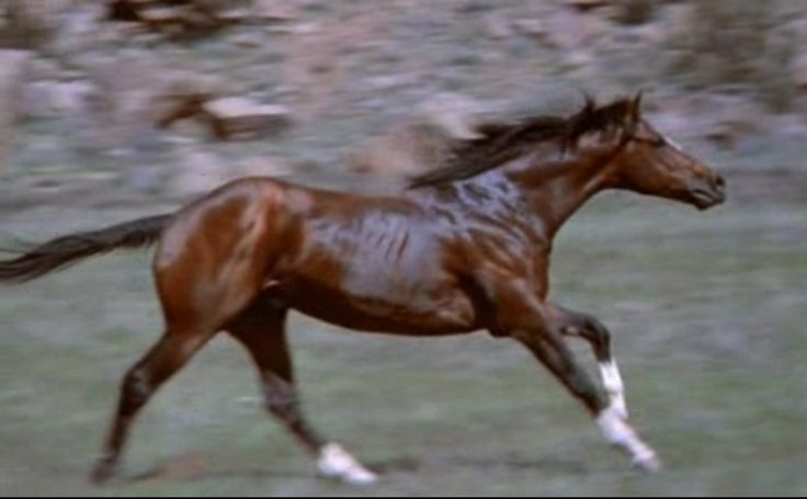 Let's merge, a 5-year-old Thoroughbred stallion aka Rising star in 'The electric horseman' starring Robert Redford. 1979. The stallion was given to him at the end of the filming and retired in Robert Redford's Sundance mansion till his death 18 years later.