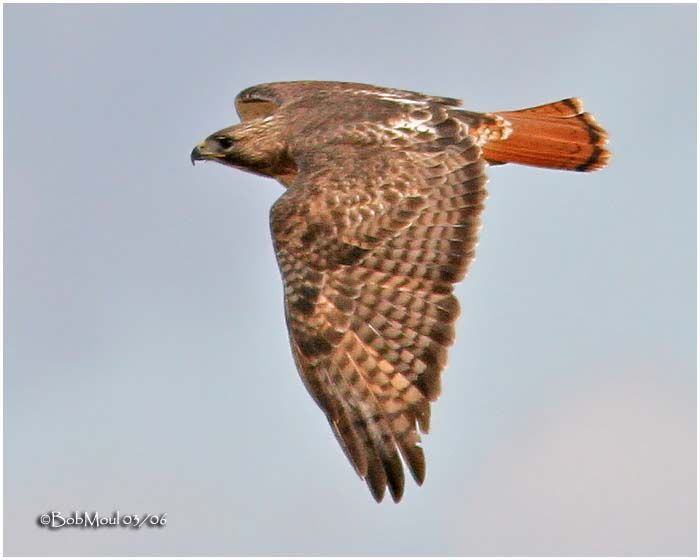 Red-tailed Hawk Pictures Gallery | Red Tailed Hawk Pictures Gallery