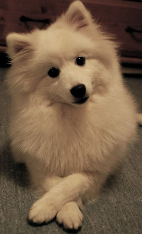 Japanese Spitz all of the jap Spitz ive come across at work are little ratbags and thats just what i love about them!