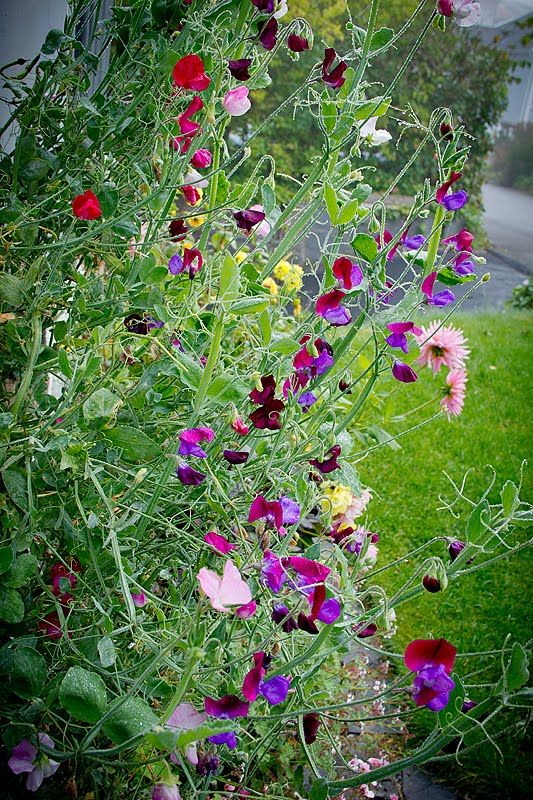 Sweet peas in Lotta's garden in Sweden--click for more photos of this garden