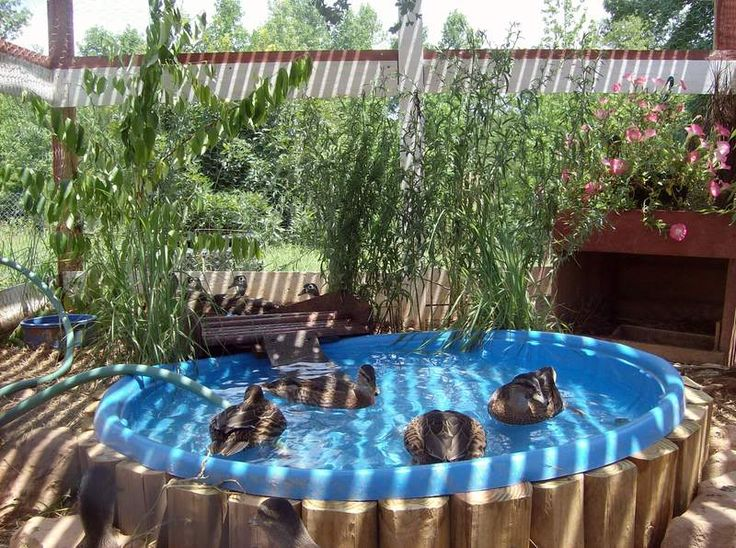 Pinterest discover and save creative ideas for Chicken in swimming pool