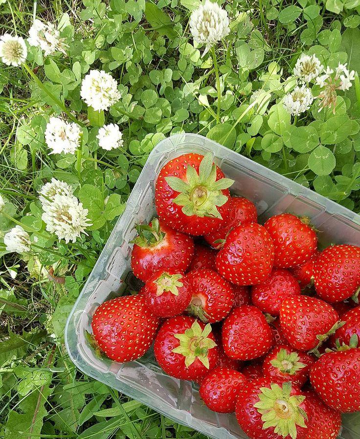 Sweet Saturday  #kesä #summer #summermood #mansikat #strawberries #apila #apilankukat #flowers #flowerpower #nature #naturelover #summertime #summerinfinland #seasonsoffinland #thisisfinland #saturdaypic #nature #delicious #viekielenmennessään #lifestyleblogger #nelkytplusblogit #åblogit #ladyoftemess