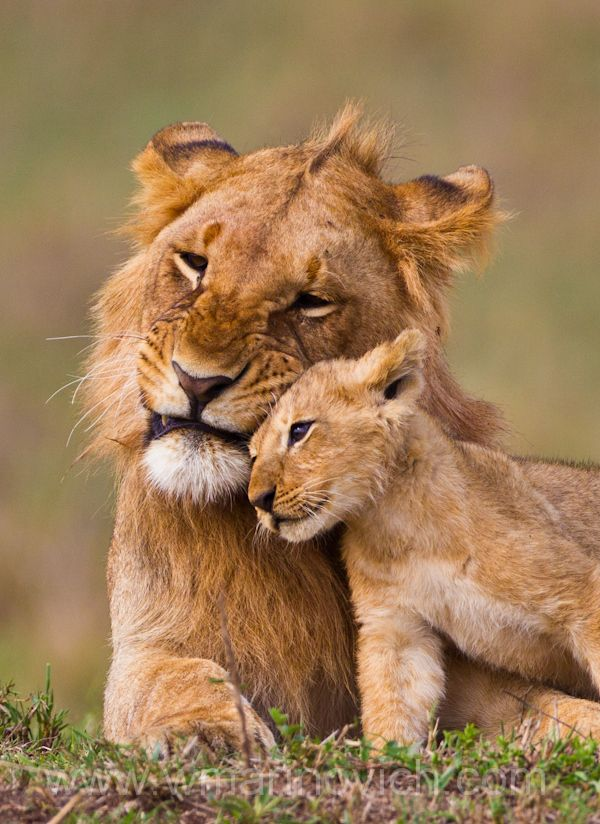 "Brothers by Wayne Marinovich. ""Members of the Marsh Pride, Masai Mara, Kenya"""