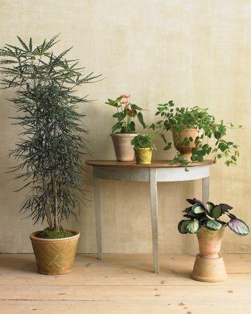 97 Best Images About Aralias On Pinterest Trees Bonsai