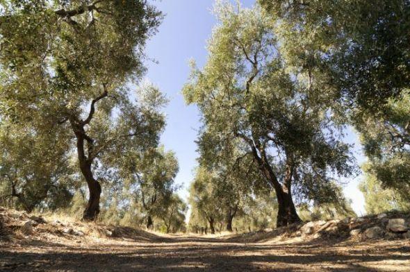 Puglia Strada tra ulivi