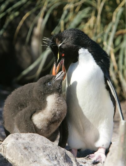 111 best images about Rockhopper Penguin on Pinterest ...