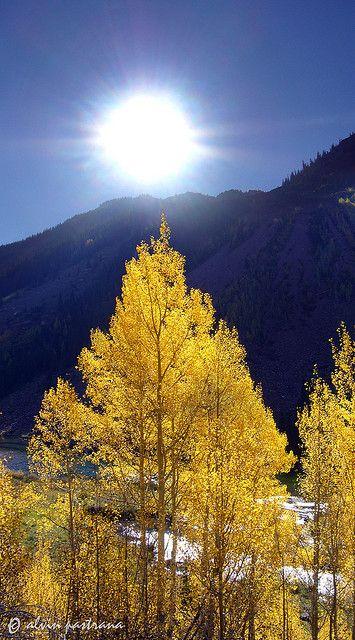 Backlit aspen ,Colorado