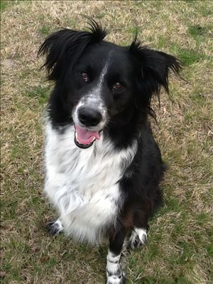 Malcom Border Collie Amp Rottweiler Mix Adult Male