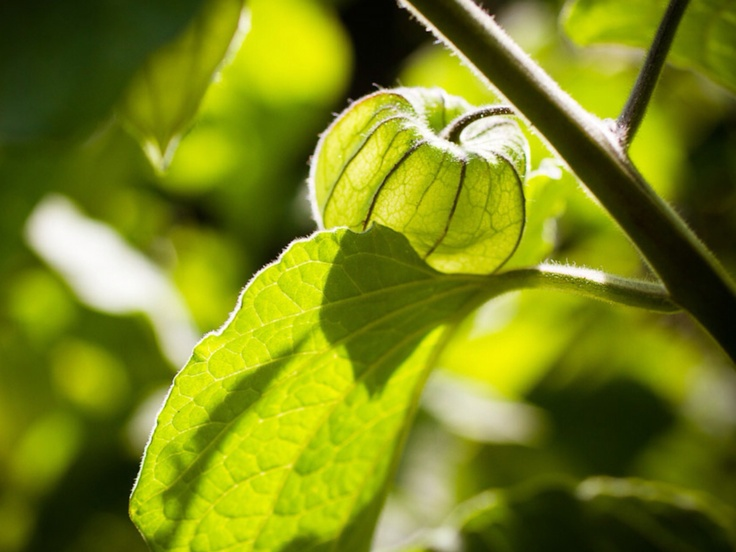 46 best images about physalis l 39 amour en cage - Fruit cage d amour ...