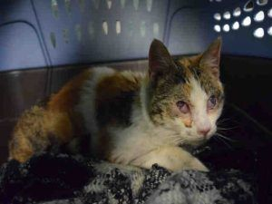 Poor Anderson has a severe URI, an eye issue causing visual impairment with poss bacterial infection, heart murmur, and suspected ringworm!  All this and given a good prognosis with treatment! Please rescue this poor friendly 6 month old kitten!