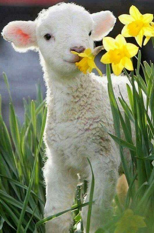 Lamb stopping to smell the... daffodils