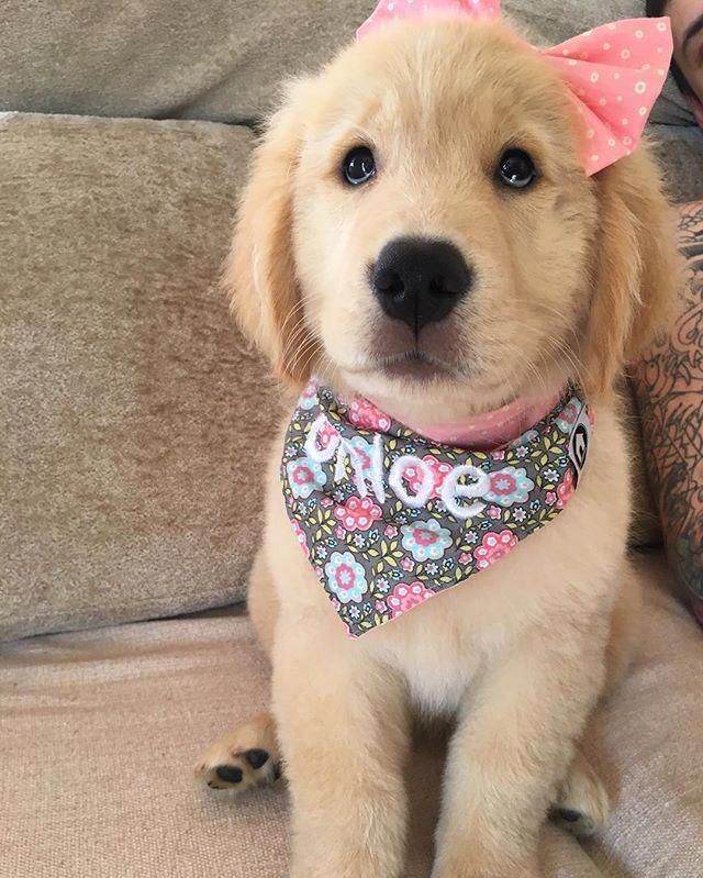 Golden Retriever Why Are They The Perfect Pets Cute Dogs Puppies Cute Baby Animals