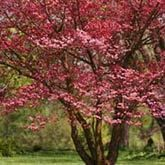 Dogwood Trees | Pink Flowering Dogwood Tree for Sale | Fast Growing Trees