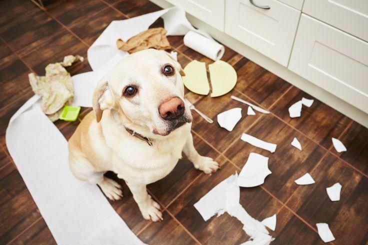 Perro hiperactivo en casa